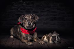 Hund und Meerschweinchen