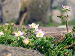 Blume Nordsee
