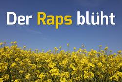 Der Raps blüht